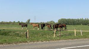 Paarden - Conclusies Procureur-Generaal Hoge Raad vaker aangehouden - van Swaaij Cassastie & Consultancy - cassatieadvocaat - cassatie advocaat